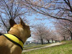 桜並木だぞワン太郎