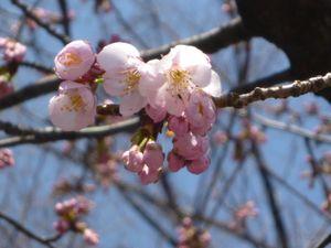 早咲きのアンギョウザクラ
