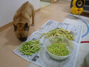 豆の匂いを嗅ぐワン太郎2