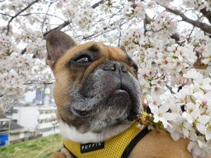 桜とワン太郎